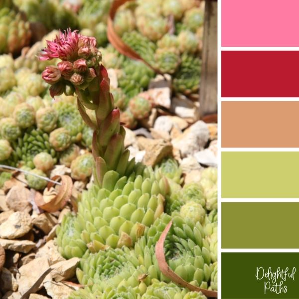 House Leek Succulent With Pink Flowers succulent color palette DelightfulPaths.com